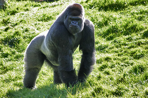 http://www.zoo-parc-beauval.images-en-france.fr/images/photos/gorilla.jpg